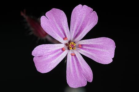 Microordinador, fotografia, porpra, flors, flor, Rosa, natura