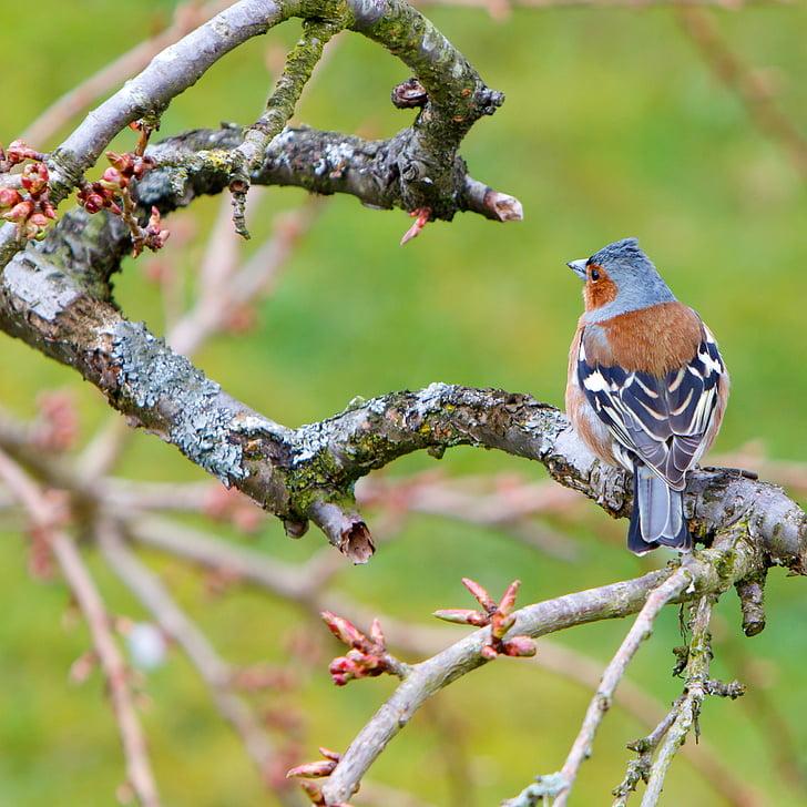 ptica, chaffinch, prosto živeče živali, živali, vrt, mala, ščinkavec