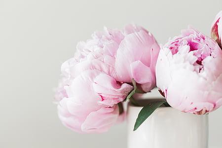 peonie, rosa, fiore, floreale, estate, bouquet, celebrazione