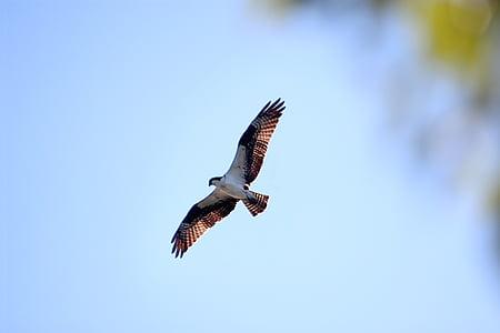 Buteo, pasăre de pradă, păsări răpitoare, cer, zbor, planare, pasăre
