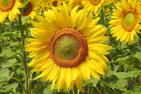 päevalill, õis, Bloom, kollane, suvel, Helianthus, päevalille välja