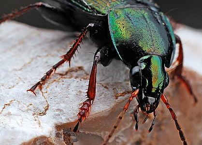 ด้วง, แมลง, แมโคร, ธรรมชาติ, สีดำ, ข้อผิดพลาด, สัตว์