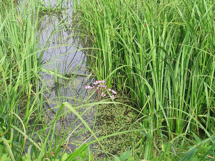 đầm lầy, Mead, Hoa, nước, cỏ cao, màu xanh lá cây, bản chất của các