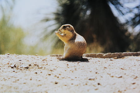 esquirol gris, esquirol, rosegador, animal, croissant, valent, animals