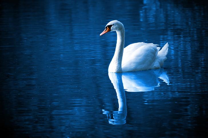 Kaunis, lintu, sininen, rauhallinen, väri, Elegance, sulka
