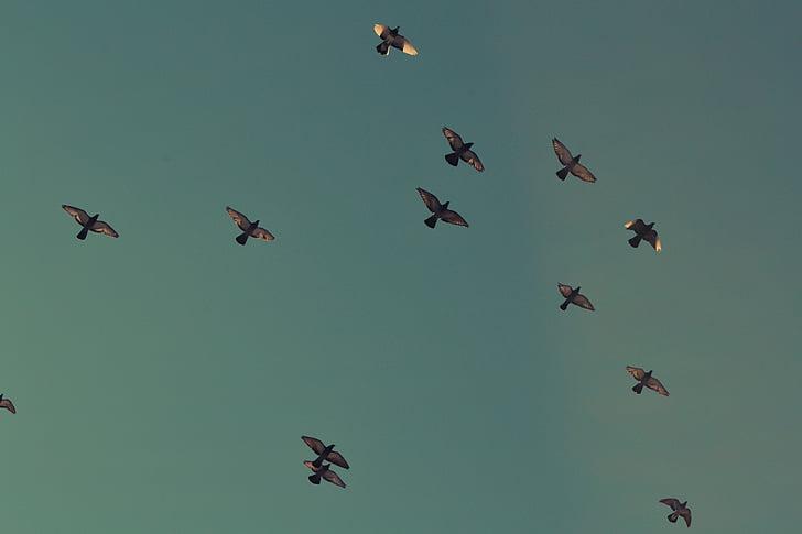 стадо, гълъби, птици, плаващи, стичат, гълъби, образуване на полет