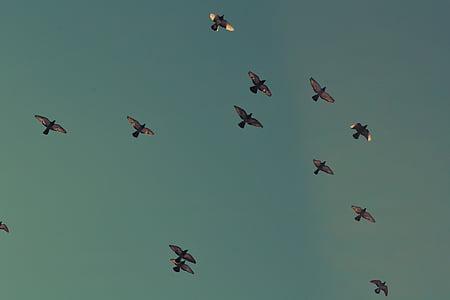 ramat, coloms, ocells, volant, flocat, coloms, vol en formació