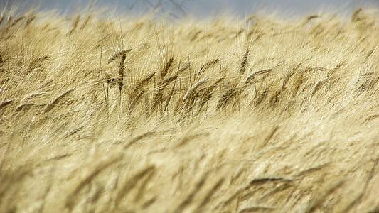 camp de blat, camp, d'or, primavera