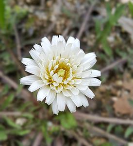 dent de Lleó blanc, Blanca Flor de dent de Lleó, de gent de flors silvestres blanc