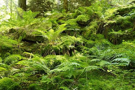Falguera, verd, bosc, paisatge, vegetació, planta, Falguera de fulla