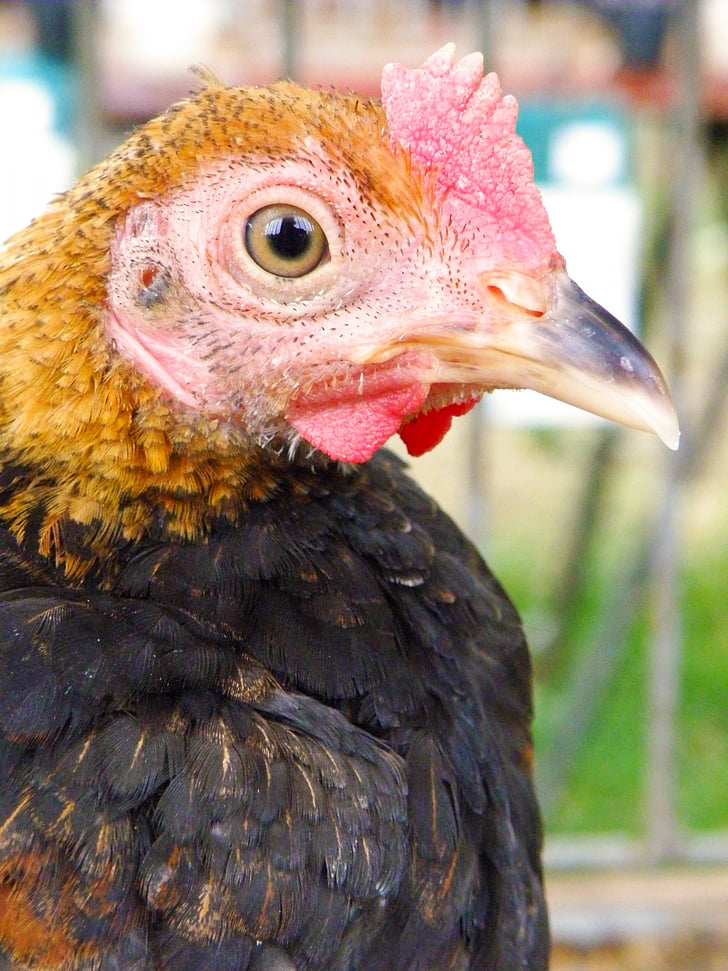 chicken, hen, bird, portrait, head, beak