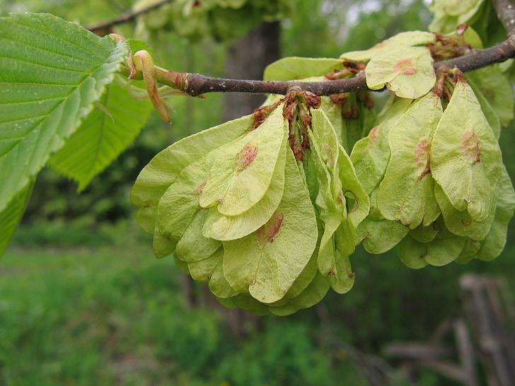 Baum, Elm, Samen, Elm-Samen, Zweig, essbare, Frühling