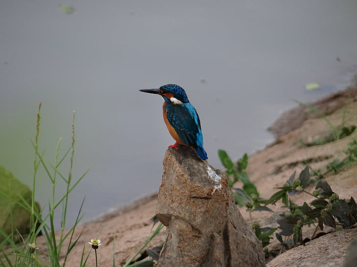 mala plava Vodomar, dharwad, sadhankeri, Vodomar, biljni i životinjski svijet, vode, priroda