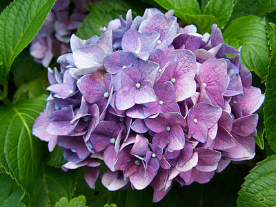 sinakas-lilla Hortensia, Aed, Suvine lill, loodus, taim, lehed, lilla