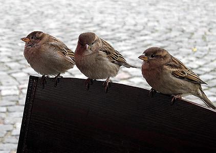 птици, Врабчета, врабче, природата, пернат състезание, птица, Живата природа