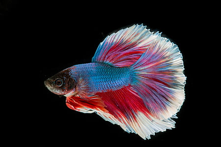 魚の戦い, 魚, 3 つのカラー, 戦い, タイを魚します。, フリック, 黒の背景