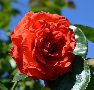ローズ, フロリバンダ, ブロッサム, ブルーム, バラが咲く, バラの花, 花
