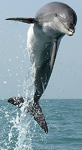 dolphin, jumping, leaping, swimming, leap, jump, mammal