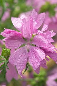 mályva, rózsaszín mályva, rózsaszín virág, nyári virág, eső, Harmat