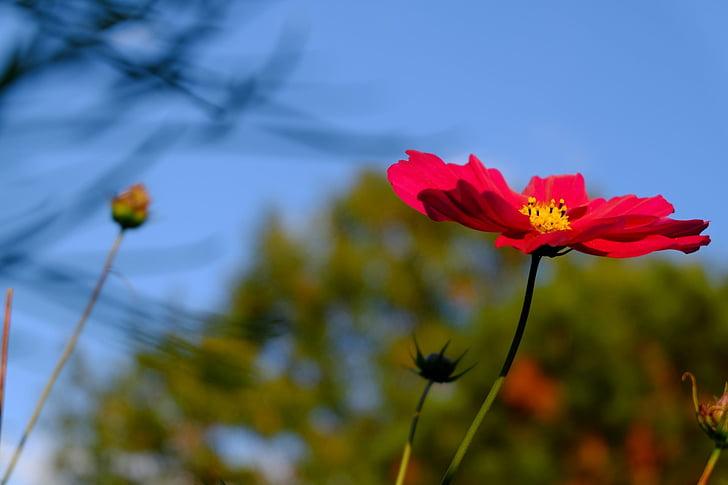 cosmea, blossom, bloom, red, schnittblume, pasture, park