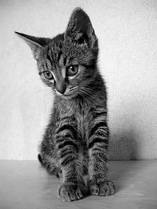 cat, kitten, black and white cat, tomcat, domestic cat