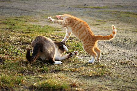 cat, fight, play, kitten, siamese cat, siamese, animal