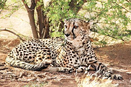 cheetah, africa, namibia, predator, nature, wild animal, cat