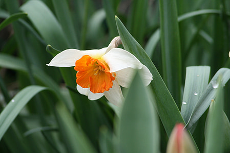 natur, anlegget, blomst, hage, blomster, påskelilje, våren