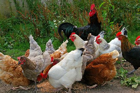 kanad, kanaaeda, talu, toitmine, terad, toidu, valge kana
