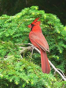 painting, artistic, bird, red cardinal, cardinal, cardinal bird, pretty bird