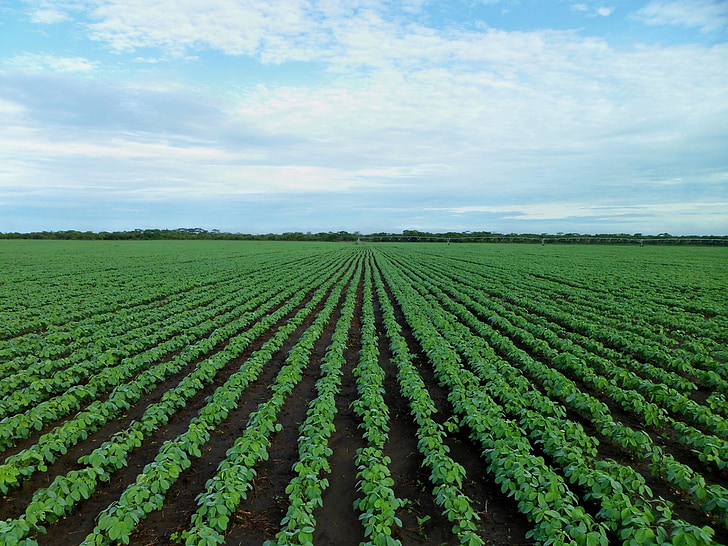 soybean field, farming, field, agriculture, growing, zambia