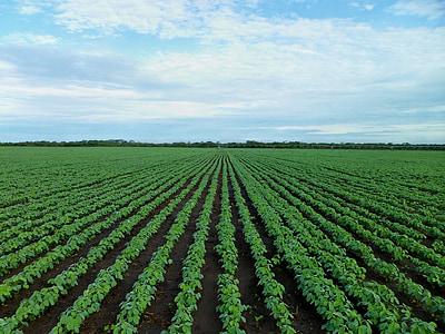 camp de soja, l'agricultura, camp, l'agricultura, creixent, Zàmbia