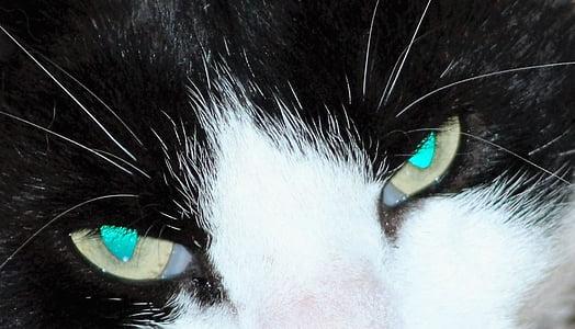 котешко око, опасни, око, котка, лицето, Портрет, домашни любимци