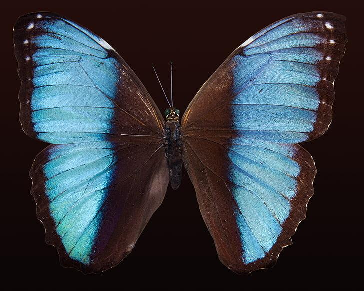 perhonen, eksoottinen, Etelä-Amerikka, Amazon, värikkäiden, asteikko, siipi asteikot