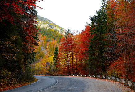 forest road, autumn, trees, road, forest, nature, landscape