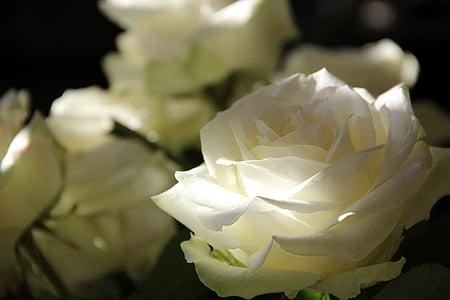 Rosas, flores, camino de las rosas, naturaleza, Pétalo, flor, Close-up