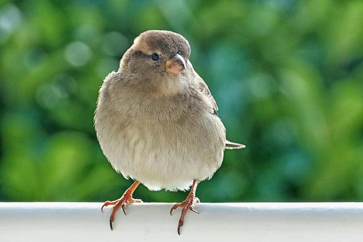 sparrow, sperling, house sparrow, bird, female, animal, nature