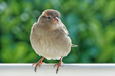 врабче, Sperling, Домашно врабче, птица, женски, животните, природата