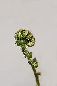 Fern, jonge varens, groen, plant, opgerold, sluiten, tekst dom
