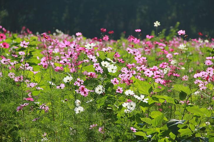 gėlių sodas, gėlės, Gamta, sodas, rožinės gėlės, Kosmosas