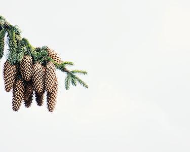 Pinheiro, cone de, árvore, planta, natureza, espaço de cópia, fundo branco