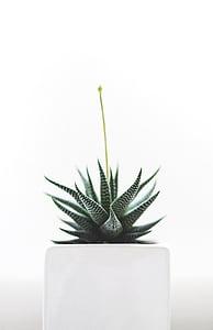 planta, suculentes, aïllats, natura, salut, detall, creixement