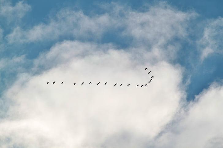 ptica selica, jata ptica, dizalice, ptice, životinja, formaciji, Životinjski svijet