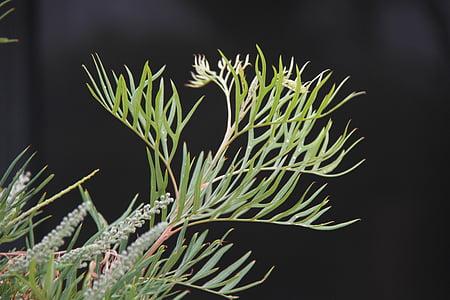 grevillia leaf, leaves, green, garden, nature, spring, outdoor