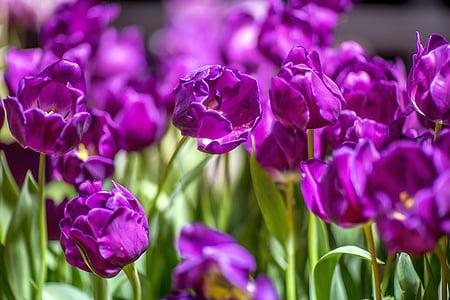 tulbid, lilla, lilled, Bloom, lilla tulip, ere, Lähis Joonis
