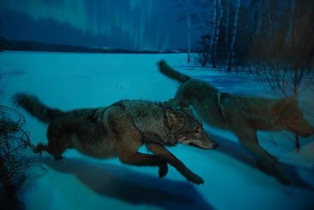 wolf, night, moon, howl, howling, predator, wildlife