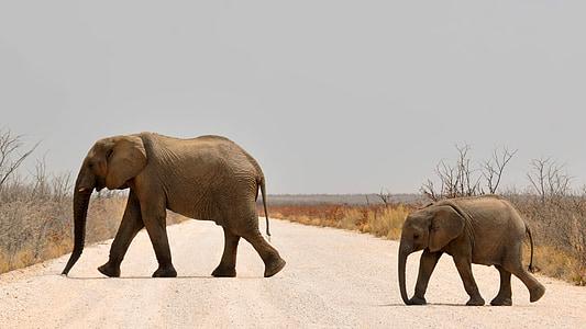 elefant, elefant, elefant jove, elefant africà, Àfrica, Namíbia, natura