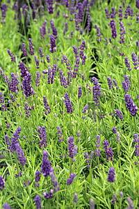 Lavendel, aroom, Lavendel taime, õis, Bloom, lilla, Lavendel lilled