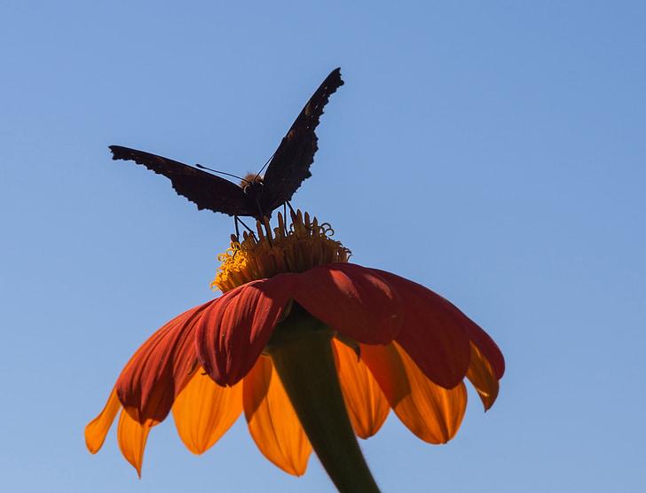 gira-sol mexicà, flor, l'estiu, natura, jardí, flor d'estiu, planta d'estiu