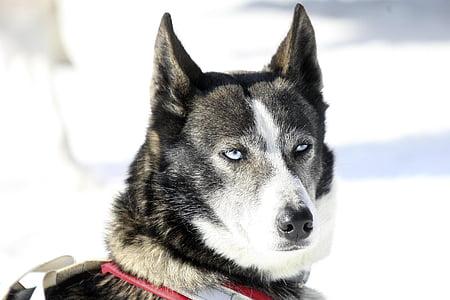 dog, husky, winter, eyes, animals, huskies, sled Dog